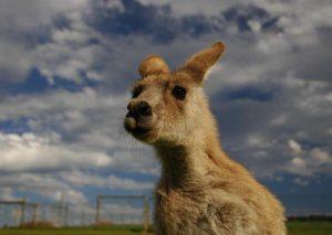 kangaroo australia-phillip-island